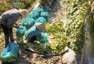 Chuyển đổi cây trồng tại Long Mỹ để tăng thu nhập